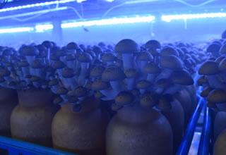 LEDライトを使用した施設内栽培