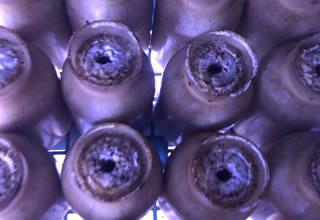 ⑤菌掻き:ぶなしめじ栽培90日目